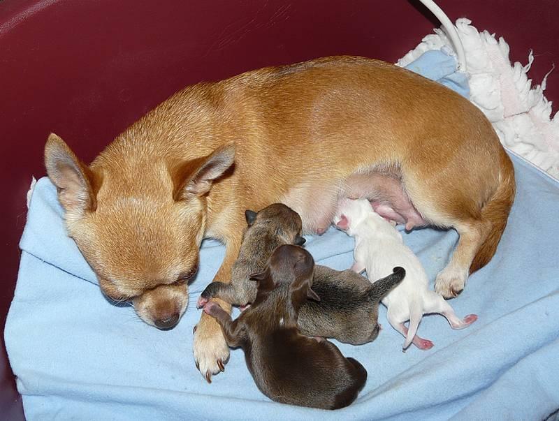 de l'île aux genêts - Chihuahua - Portée née le 10/08/2013