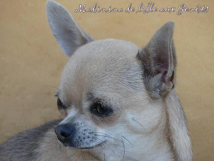 de l'île aux genêts - Chiot disponible  - Chihuahua