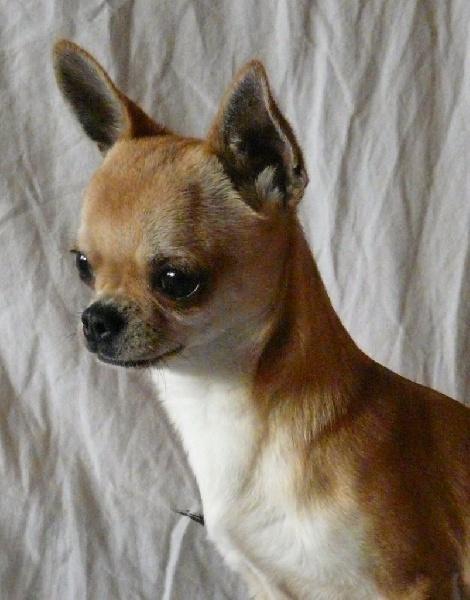 de l'île aux genêts - Chihuahua - Portée née le 15/04/2015
