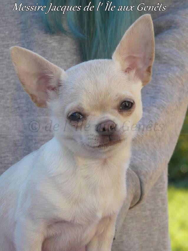 de l'île aux genêts - Chihuahua - Portée née le 11/10/2016