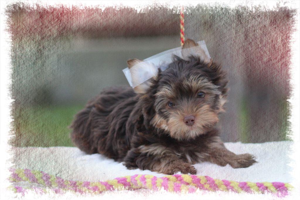 des Tresors du Mont Ventoux - Chiot disponible  - Yorkshire Terrier