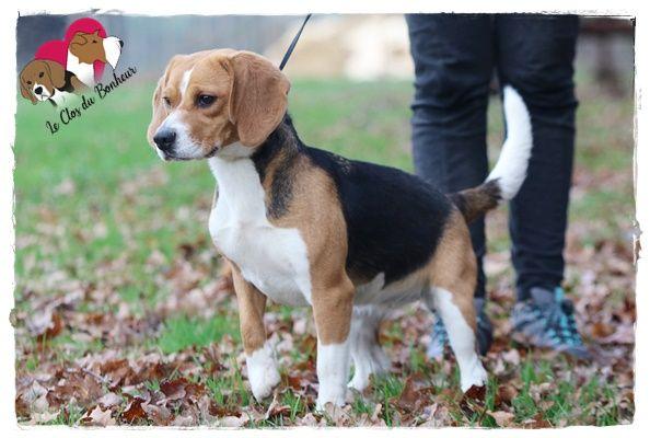 Nikki du clos du bonheur Beagle