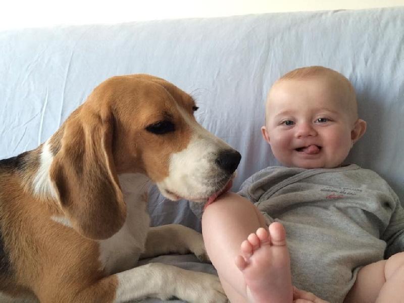 photo elevage du clos du bonheur eleveur de chiens beagle chiot beagle. Black Bedroom Furniture Sets. Home Design Ideas
