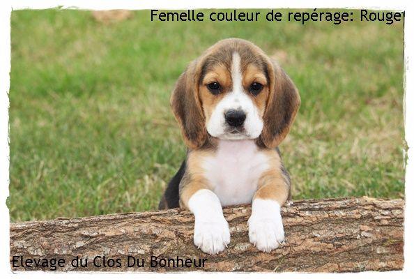 Chiot elevage du clos du bonheur eleveur de chiens - Chiot beagle gratuit ...