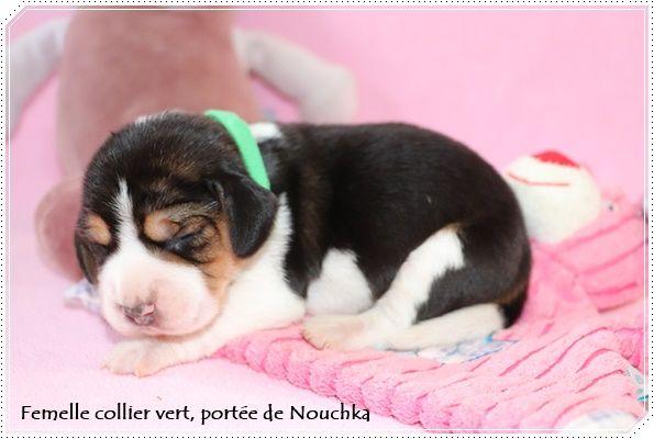 du clos du bonheur - Chiot disponible  - Beagle