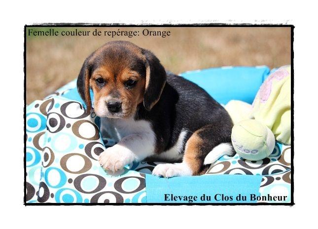 elevage du clos du bonheur eleveur de chiens beagle chiot beagle. Black Bedroom Furniture Sets. Home Design Ideas
