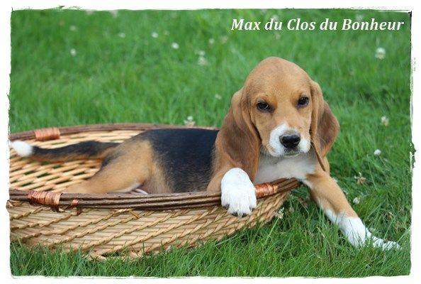 chiot elevage du clos du bonheur eleveur de chiens beagle chiot beagle. Black Bedroom Furniture Sets. Home Design Ideas