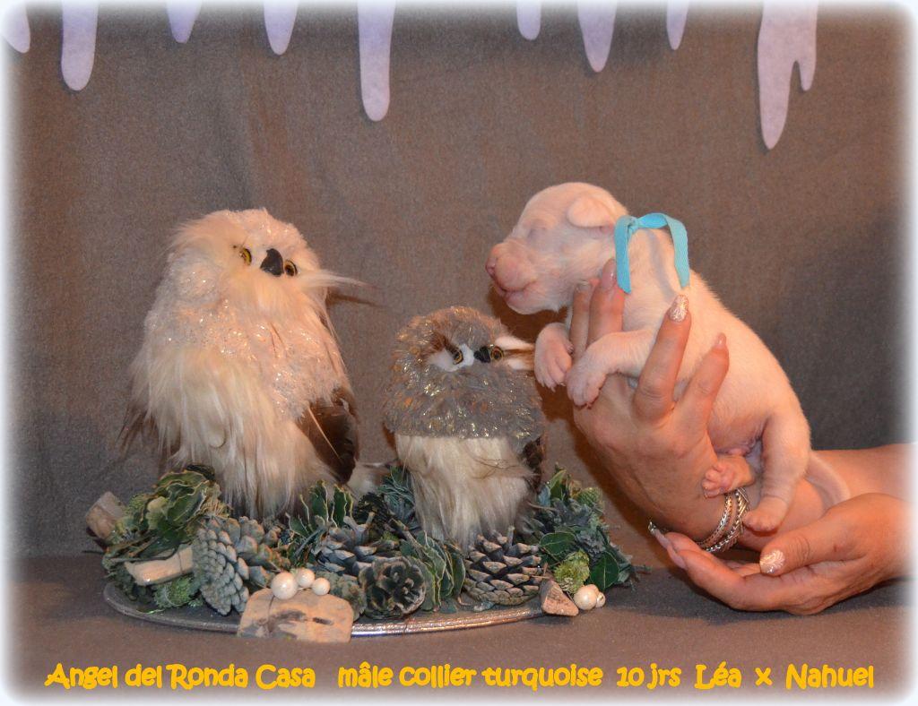 Angel del Ronda Casa - Chiot disponible  - Dogo Argentino