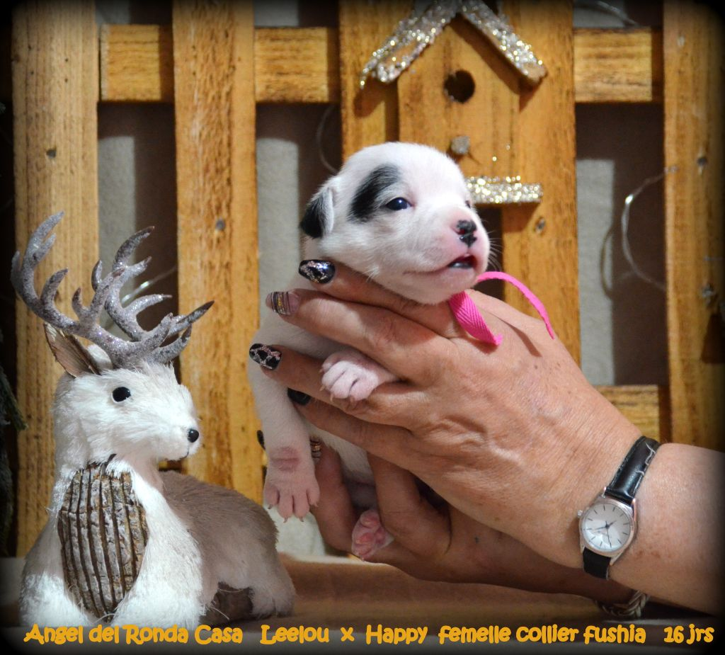 Angel del Ronda Casa - Chiot disponible  - Staffordshire Bull Terrier