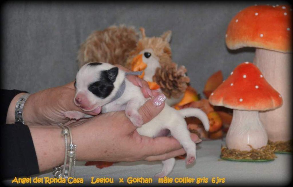Angel del Ronda Casa - Chiot disponible  - Staffordshire Bull Terrier