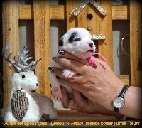 Angel del Ronda Casa - Staffordshire Bull Terrier - Portée née le 29/10/2019