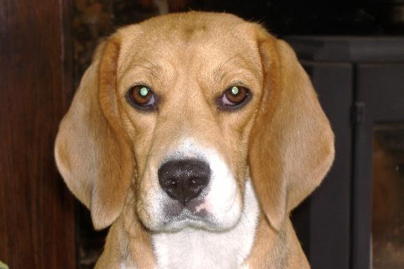 Accueil elevage du bray bocage eleveur de chiens beagle agility exposition education - Chat qui perd pas ses poils ...