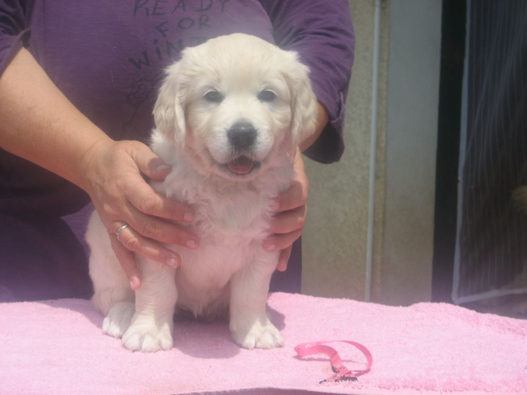 Miss Pink - Golden Retriever