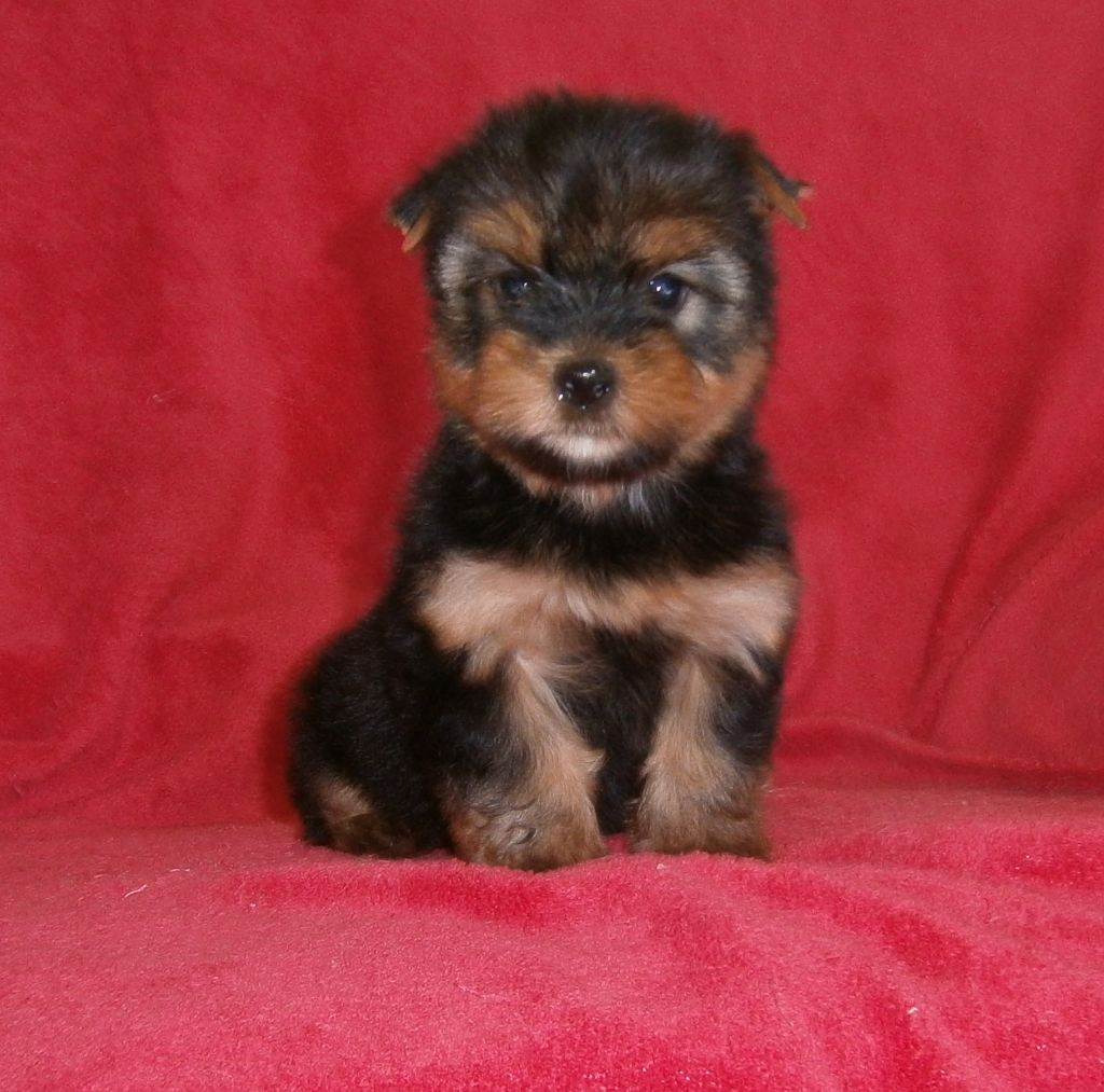 PHILOU - Yorkshire Terrier