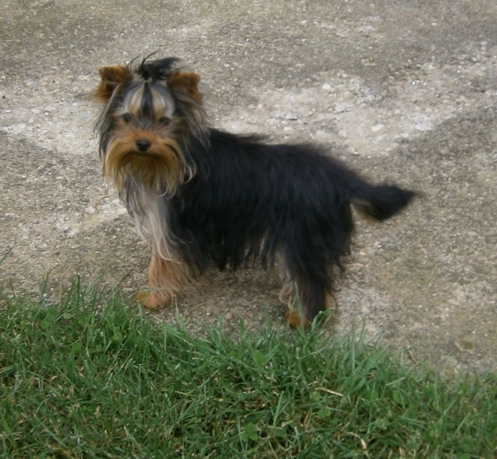 O'MINNIE - Yorkshire Terrier