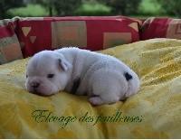 Bouledogue français - des Feuilleuses