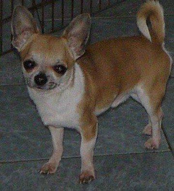 des Petits Mickeys - Chihuahua - Portée née le 10/08/2010