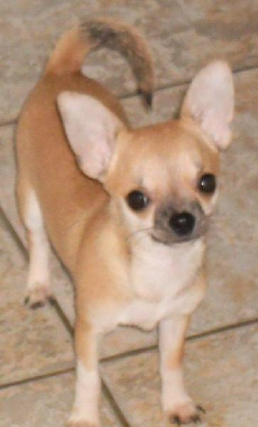 des Petits Mickeys - Chihuahua - Portée née le 10/02/2011