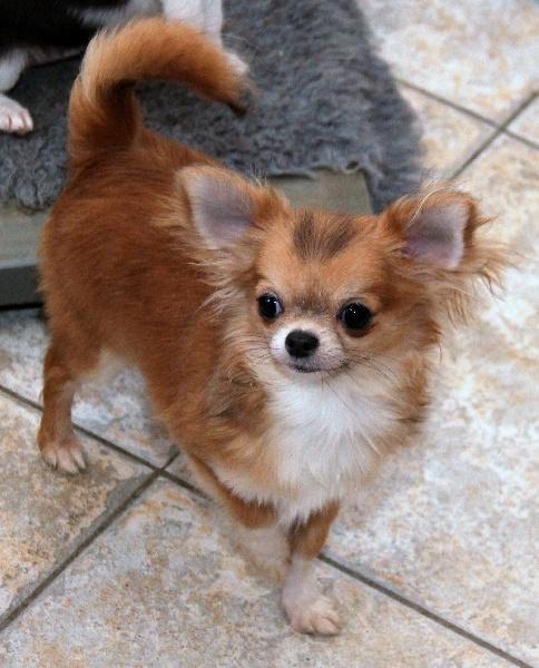 des Petits Mickeys - Chihuahua - Portée née le 01/07/2010