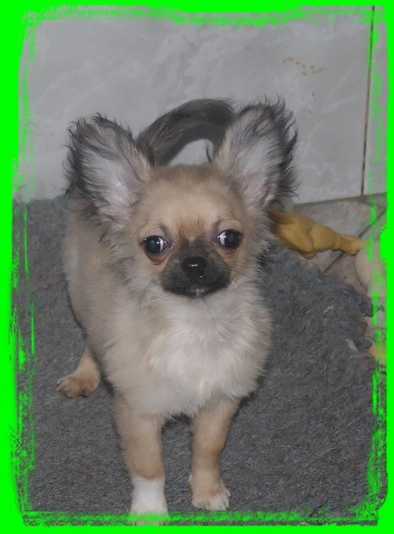 des Petits Mickeys - Chihuahua - Portée née le 24/09/2017