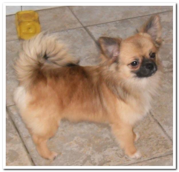 des Petits Mickeys - Chihuahua - Portée née le 10/09/2014