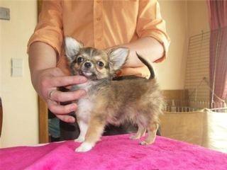 des Petits Mickeys - Chihuahua - Portée née le 30/12/2008