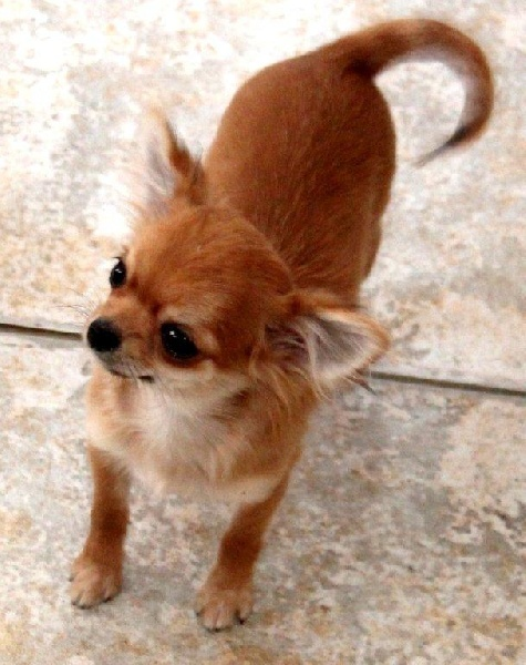 des Petits Mickeys - Chihuahua - Portée née le 28/10/2010