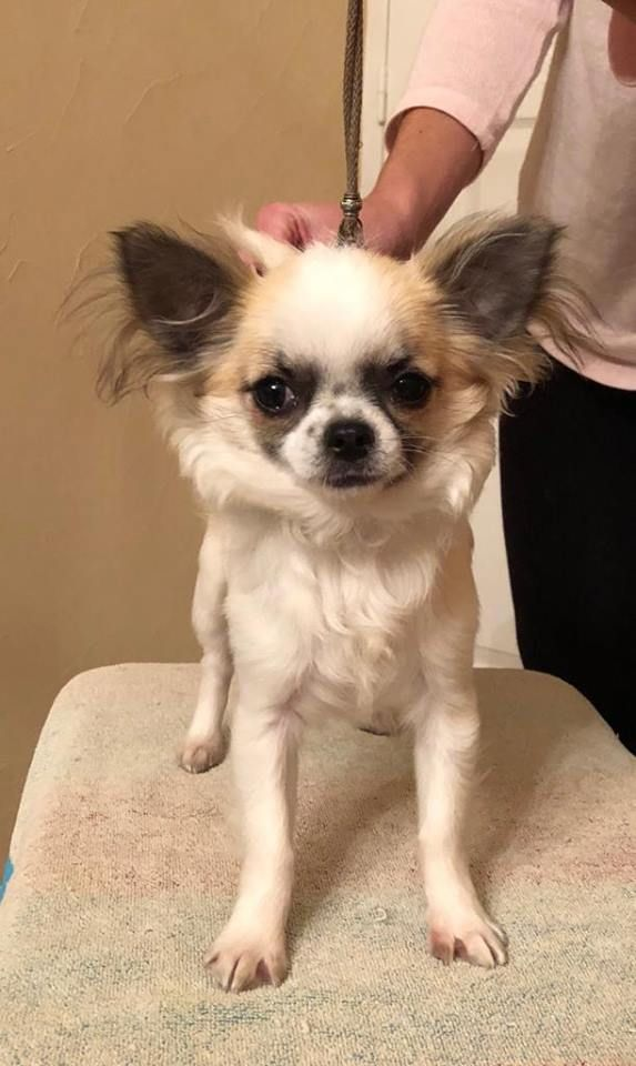 CHIOT- Radieuse - Chihuahua