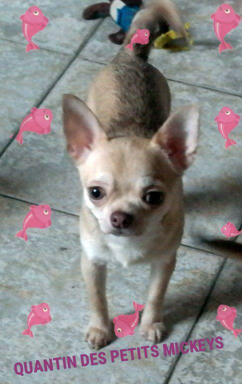 des Petits Mickeys - Chiot disponible  - Chihuahua