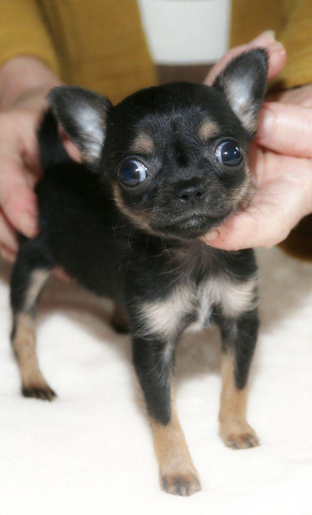 Femelle noire et feu  - Chihuahua