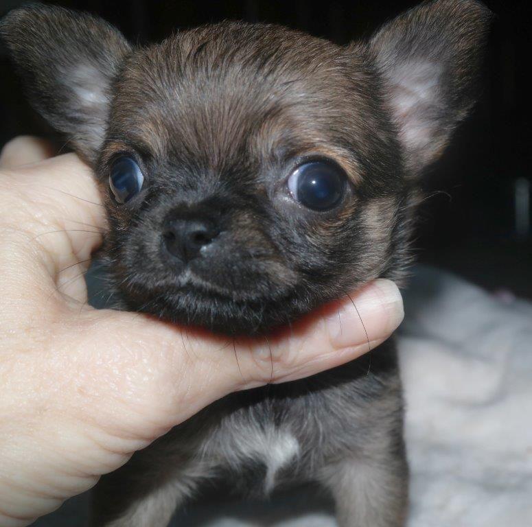 Femelle charbonnée  - Chihuahua