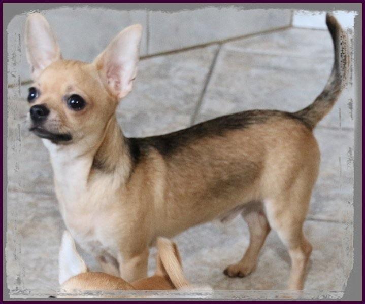 des Petits Mickeys - Chihuahua - Portée née le 24/11/2015