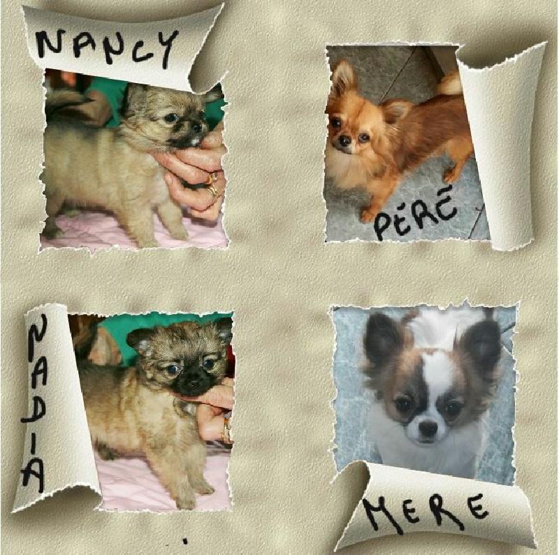 des Petits Mickeys - Chihuahua - Portée née le 12/12/2014