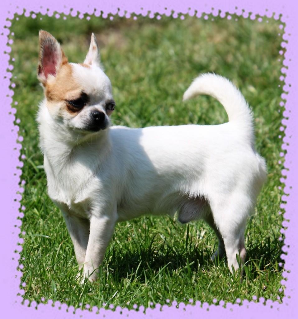 des Petits Mickeys - Chihuahua - Portée née le 29/09/2017