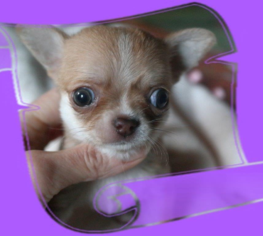 Mâle crème - Chihuahua