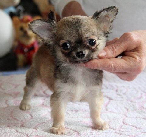 des Petits Mickeys - Chihuahua - Portée née le 30/12/2011