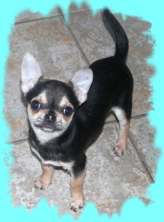 des Petits Mickeys - Chihuahua - Portée née le 10/09/2017