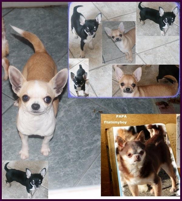 des Petits Mickeys - Chihuahua - Portée née le 30/11/2016