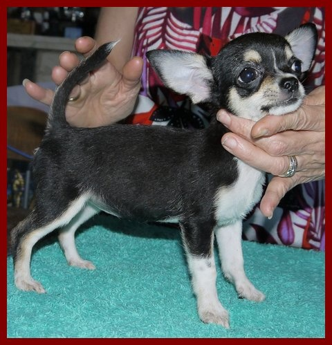 des Petits Mickeys - Chihuahua - Portée née le 04/05/2013