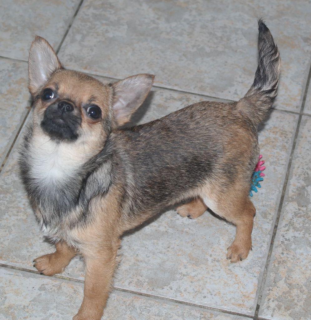 des Petits Mickeys - Chihuahua - Portée née le 30/11/2017