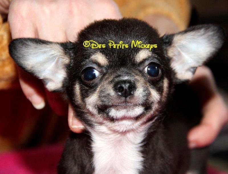 des Petits Mickeys - Chihuahua - Portée née le 25/12/2010