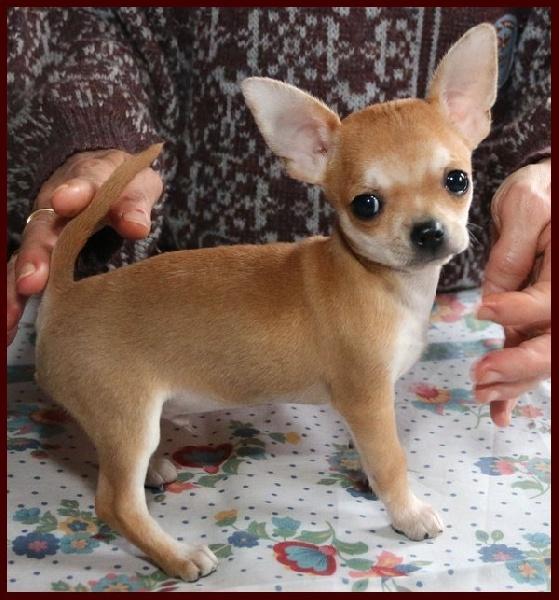 des Petits Mickeys - Chihuahua - Portée née le 16/11/2015