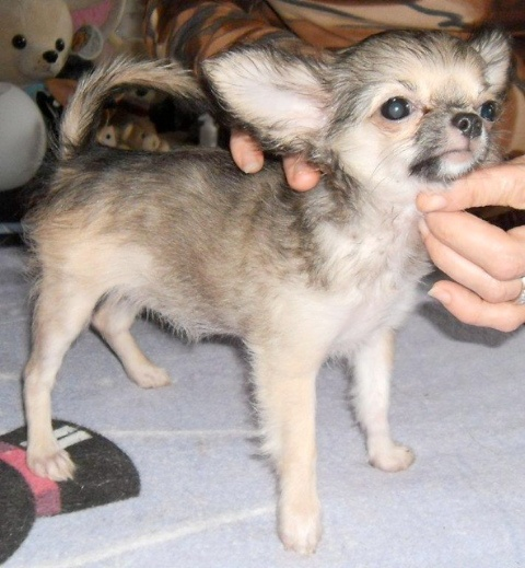 des Petits Mickeys - Chihuahua - Portée née le 01/06/2011