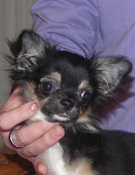 des Petits Mickeys - Chihuahua - Portée née le 29/09/2010