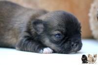 Chihuahua - de la taniére des louveteaux